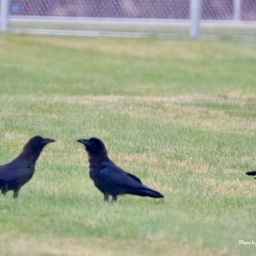Crows playing